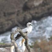 Red-footed booby. Pale morph adult. Muriwai gannet colony, January 2017. Image © Blair Outhwaite by Blair Outhwaite