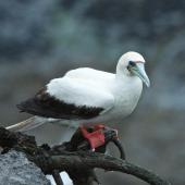 Red-footed booby. Pale morph adult. Muriwai gannet colony, January 2017. Image © Les Feasey by Les Feasey