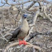 Red-footed booby. Brown morph adult roosting in tree. Tower Island,  Galapagos Islands, August 2016. Image © Rebecca Bowater by Rebecca Bowater FPSNZ AFIAP www.floraandfauna.co.nz