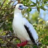 Red-footed booby. White morph adult roosting. Cosmoledo Atoll, Seychelles, December 2015. Image © Tony Crocker by Tony Crocker