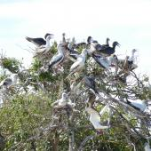 Red-footed booby. Roosting flock with adults in a wide range of plumages. Cosmoledo Atoll, Seychelles, December 2015. Image © Tony Crocker by Tony Crocker