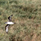 Herald petrel. Adult flying over island. Raine Island, Queensland,  Australia, September 2014. Image © David Stewart by David Stewart