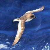 Antarctic petrel. Bird in flight, front side view from above. Approaching South Shetland Islands, from South Georgia, December 2015. Image © Cyril Vathelet by Cyril Vathelet