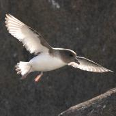 Antarctic petrel. Adult preparing to land at breeding colony. Haswell Island, near Mirny Station, Antarctica, November 2012. Image © Sergey Golubev by Sergey Golubev