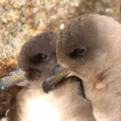 Antarctic petrel. Pair at breeding colony. Haswell Island, near Mirny Station, Antarctica, October 2012. Image © Sergey Golubev by Sergey Golubev