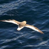 Antarctic petrel. Bird in flight, dorsal view from behind. Approaching South Shetland Islands, from South Georgia, December 2015. Image © Cyril Vathelet by Cyril Vathelet