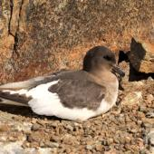 Antarctic petrel. Adult on nest. Haswell Island, near Mirny Station, Antarctica, November 2012. Image © Sergey Golubev by Sergey Golubev