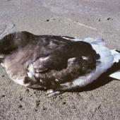Antarctic petrel. Sick bird. Rangitikei River mouth, October 1990. Image © Alan Tennyson by Alan Tennyson