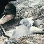 Antarctic petrel. Adult guarding young chick. Hop Island, Prydz Bay, Antarctica, February 1990. Image © Colin Miskelly by Colin Miskelly