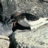 Antarctic petrel. Adult feeding chick. Hop Island, Prydz Bay, Antarctica, February 1990. Image © Colin Miskelly by Colin Miskelly