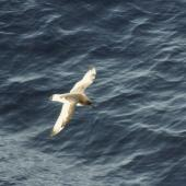 Antarctic petrel. In flight, dorsal. Southern Indian Ocean, November 1989. Image © Colin Miskelly by Colin Miskelly