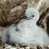 Antarctic petrel. Downy chick. Hop Island, Prydz Bay, Antarctica, February 1990. Image © Colin Miskelly by Colin Miskelly