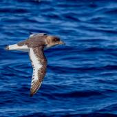 Antarctic petrel. Adult in flight. Southern Ocean, January 2018. Image © Mark Lethlean 2018 birdlifephotography.org.au by Mark Lethlean