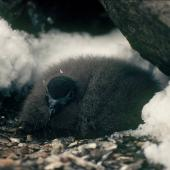 Cape petrel. Large downy southern chick. Hop Island, Prydz Bay, Antarctica, February 1990. Image © Colin Miskelly by Colin Miskelly