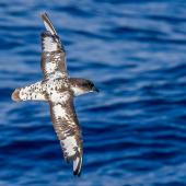 Cape petrel. Moulting adult in flight, dorsal view. Southern Ocean, January 2018. Image © Mark Lethlean by Mark Lethlean