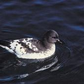 Cape petrel. Snares adult on water. Off Otago Peninsula, April 1980. Image © Department of Conservation by Rod Morris Courtesy of Department of Conservation