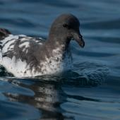 Cape petrel. Swimming on water. At sea off Otago Peninsula, April 2012. Image © Craig McKenzie by Craig McKenzie Craig McKenzie