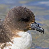 Cape petrel. Close view of adult head. Mount Maunganui, December 2011. Image © Raewyn Adams by Raewyn Adams