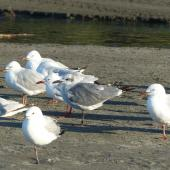 Laughing gull. Immature with red-billed gulls. Waiotahi Beach, Bay of Plenty, December 2016. Image © Alan Tennyson by Alan Tennyson