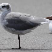 Laughing gull. A second winter bird. Waiotahi Beach, January 2017. Image © Tim Barnard by Tim Barnard