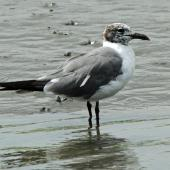 Laughing gull. Adult in partial non-breeding plumage. Cape May, New Jersey, USA, September 2013. Image © Duncan Watson by Duncan Watson