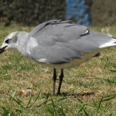 Laughing gull. Immature with food scraps. Opotiki Wharf, January 2017. Image © Scott Brooks (ourspot) by Scott Brooks