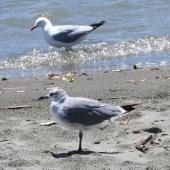Laughing gull. Immature, with adult red-billed gull behind. Waiotahi River estuary, December 2016. Image © David Riddell by David Riddell