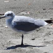 Laughing gull. Immature. Waiotahi River estuary, December 2016. Image © David Riddell by David Riddell