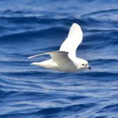 Snow petrel. Side view of adult in flight. Between South Shetland Islands and Antarctica, December 2015. Image © Cyril Vathelet by Cyril Vathelet