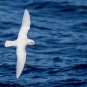 Snow petrel. Adult in flight, dorsal view. Ross Sea, Antarctica, January 2018. Image © Mark Lethlean by Mark Lethlean