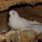 Snow petrel. Adult at breeding colony. Haswell Island, near Mirny Station, Antarctica, November 2012. Image © Sergey Golubev by Sergey Golubev