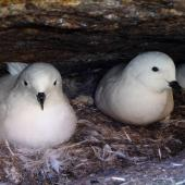 Snow petrel. Incubating adults (left-hand bird and bird in background). Haswell Island, near Mirny Station, Antarctica, December 2015. Image © Sergey Golubev by Sergey Golubev