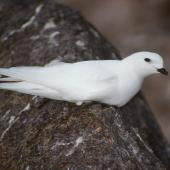Snow petrel. Adult at breeding colony. Hop Island, Prydz Bay, Antarctica, December 1989. Image © Colin Miskelly by Colin Miskelly