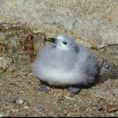 Snow petrel. Large chick. Hop Island, Prydz Bay, Antarctica, February 1990. Image © Colin Miskelly by Colin Miskelly