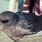 Kerguelen petrel. Sick bird. Waikanae, September 1982. Image © Alan Tennyson by Alan Tennyson