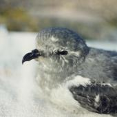 Kerguelen petrel. Adult. Hamilton, September 1995. Image © Paul Cuming by Paul Cuming
