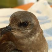 Kerguelen petrel. Bird in care. Bird Rescue Auckland, June 2016. Image © Mel Galbraith by Mel Galbraith