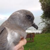 Kerguelen petrel. Stormcast bird. Found south of Havelock, Marlborough, May 2016. Image © Phil Clerke by Phil Clerke