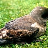Kerguelen petrel. Adult. Whakatane, September 1999. Image © Rosemary Tully by Rosemary Tully