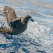 Grey-faced petrel. Adult on water. Off-shore, Lord Howe Island, February 2017. Image © Mark Lethlean by Mark Lethlean
