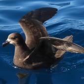 Grey-faced petrel. Adult with wings raised. Tutukaka Pelagic out past Poor Knights Islands, October 2020. Image © Scott Brooks (ourspot) by Scott Brooks