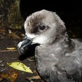 Grey-faced petrel. Close view of adult head. Ihumoana Island, December 2011. Image © Alan Tennyson by Alan Tennyson Alan Tennyson