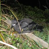 Grey-faced petrel. Chick nearly ready to fledge. Rapanui petrel colony, December 2012. Image © Joke Baars by Joke Baars