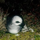 White-headed petrel. Front view of adult at breeding colony. Antipodes Island, October 1990. Image © Colin Miskelly by Colin Miskelly