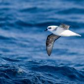White-headed petrel. Adult in flight, ventral view. Off-shore Auckland Islands, January 2018. Image © Mark Lethlean by Mark Lethlean