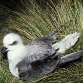 White-headed petrel. Adult on ground. Antipodes Island, November 1995. Image © Alan Tennyson by Alan Tennyson