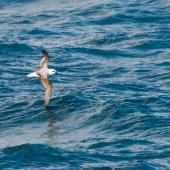 White-headed petrel. Adult in flight. At sea, south of Campbell Island, December 2015. Image © Edin Whitehead by Edin Whitehead www.edinz.com