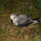 White-headed petrel. View down onto adult in breeding colony. Enderby Island,  Auckland Islands, December 2005. Image © Andrew Maloney by Andrew Maloney