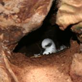 White-headed petrel. Adult on nest in burrow under rata forest. Enderby Island,  Auckland Islands, December 2006. Image © Andrew Maloney by Andrew Maloney
