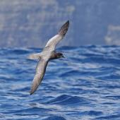 Providence petrel. Adult in flight. Lord Howe Island, April 2019. Image © Glenn Pure 2019 birdlifephotography.org.au by Glenn Pure